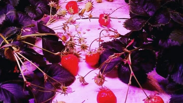 Зима с клубникой: как вырастить ягоду на подоконнике