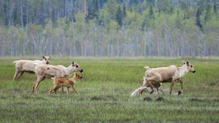 В Двинско-Пинежском заказнике поставили фотоловушки на дикого северного оленя