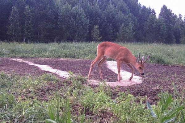 Косуль в новом охотничьем сезоне можно будет добыть на тысячу особей больше
