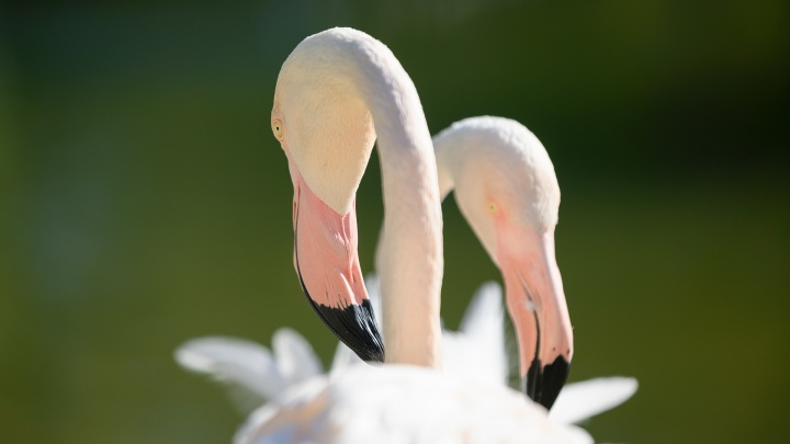 Фламинго, утки, сойки: пернатый фоторепортаж на 161.RU