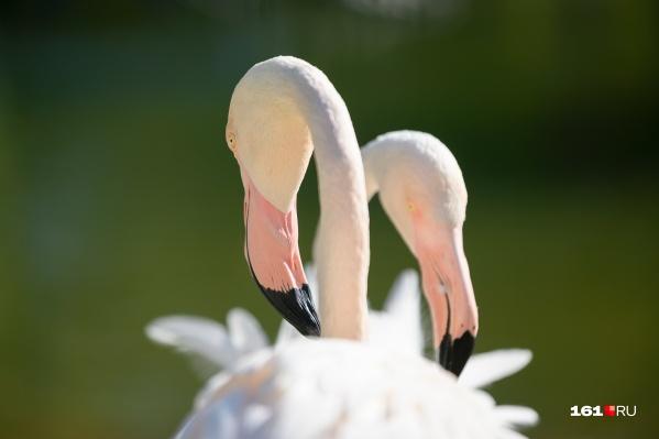 Знаете, почему фламинго стоят на одной ноге? Так они стараются сохранить как можно больше тепла при ветре. Поэтому и прячут поочередно в густых перьях свои голые ножки<br>