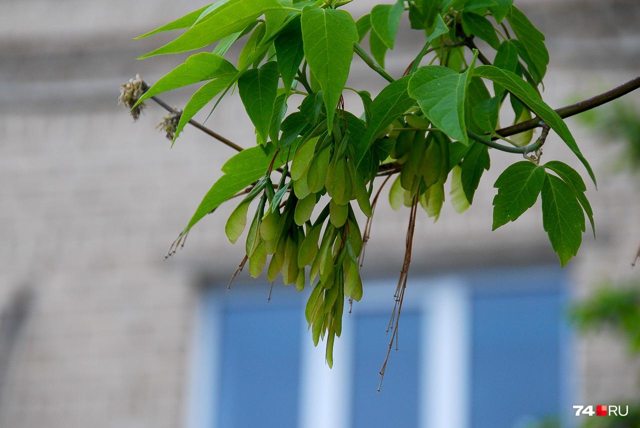 Ясенелистный клён считается сорняковым растением