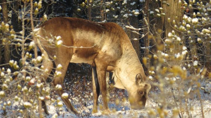 WWF в Архангельской области просит ограничить лесозаготовку, чтобы спасти оленя из Красной книги