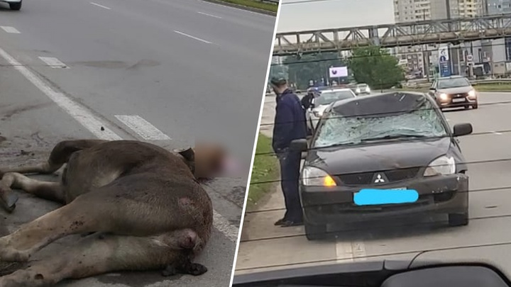 На выезде из Екатеринбурга легковушка насмерть сбила лося