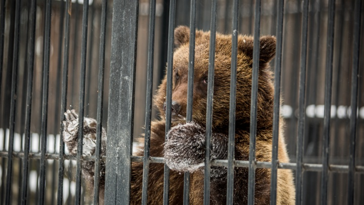 Медведь напал на пасеку в Кузбассе. Теперь его могут застрелить