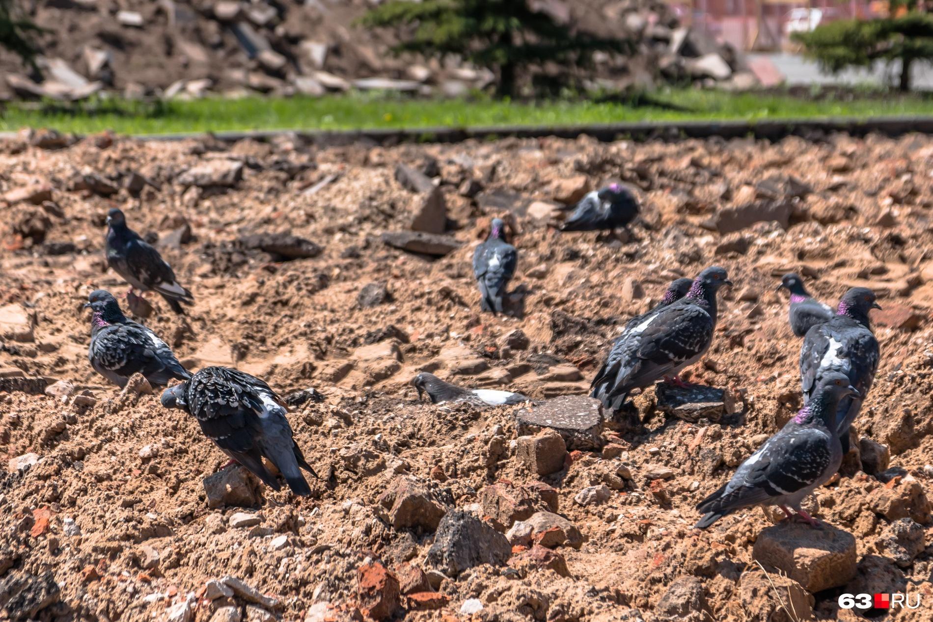 Погоду в августе можно предсказывать и по поведению голубей