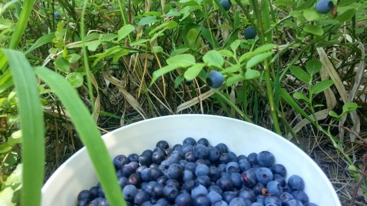 Черничные ночи, земляничные дни: любуемся ягодами, которые набрали уральцы в лесах