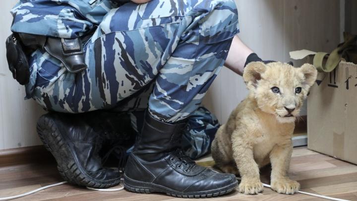 «Нужно держать на ручках и день и ночь»: спасенного в Волгограде львенка хотят передать братьям Запашным