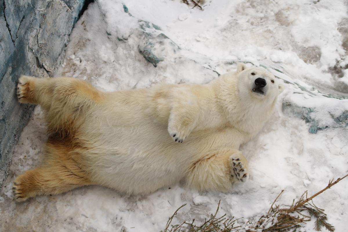 В отличие от своих бурых собратьев белый медведь Айна будет радовать посетителей зоопарка всю зиму