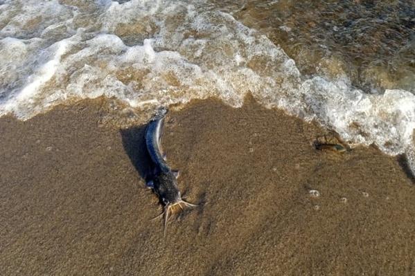 Небольшими сомиками был усыпан берег Волги