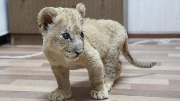 «Он начал шипеть и даже оборонялся»: в Волгограде полиция задержала юного льва