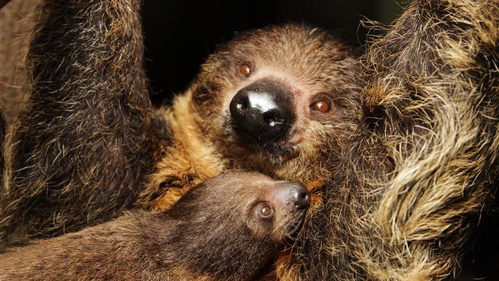 У ленивцев в Екатеринбургском зоопарке родилась дочка. Придумайте ей имя