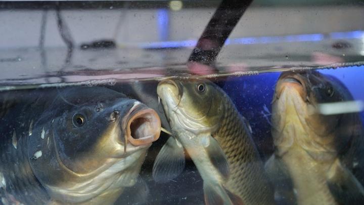 Уральские ученые обнаружили, что у рыбок тоже бывает депрессия