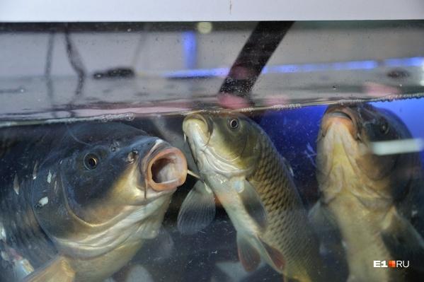 Ранее исследования о депрессии проводили на грызунах, но оказывается, что рыбы тоже могут страдать от нее