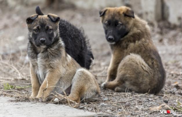 «И ни одной чипированной»: Кировский район терроризирует стая бездомных собак