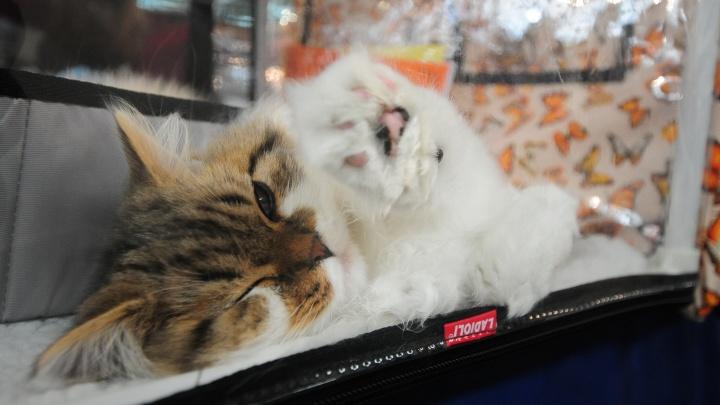 С лапками и на карантине: в России впервые подтвердили коронавирус у домашней кошки