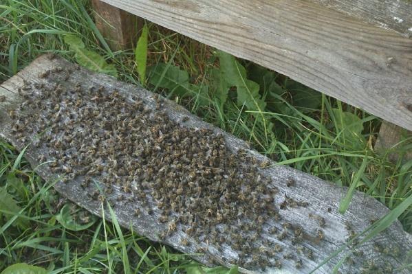 18 пчелиных семей погибли только на одной пасеке