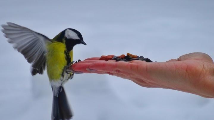 Пуночка, мандаринка и чайки с кольцами: смотрим на птиц, за которыми северянка устроила фотоохоту