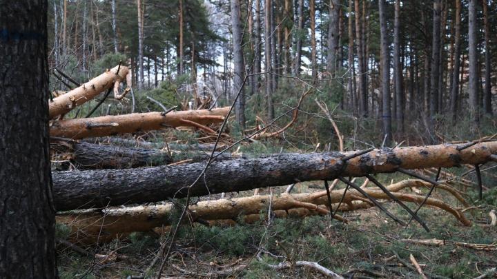 Директор предприятия незаконно нарубил леса на 16 миллионов рублей