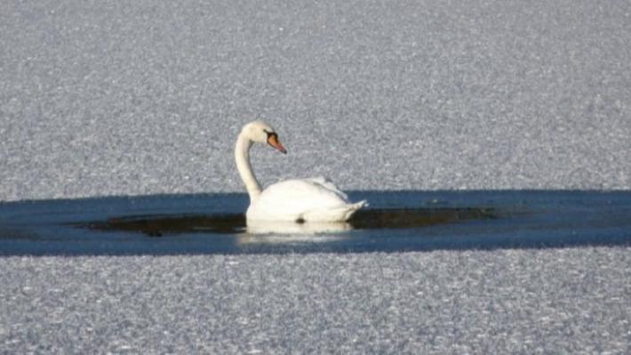 «Спасать их не надо»: что делать, если вы увидели замерзающего на пруду лебедя