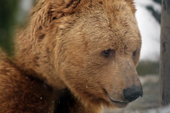 В начале зимних холодов бурые и белокоготные медведи становятся сонными и все чаще проводят время в берлоге