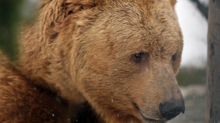 С приходом в Екатеринбург снегопадов медведи начали впадать в спячку