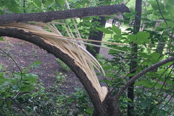На изломе дерева виден спил