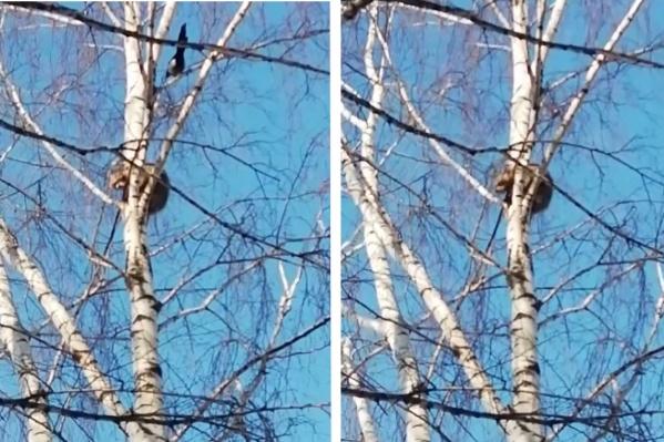 Енота на дереве атакуют сороки