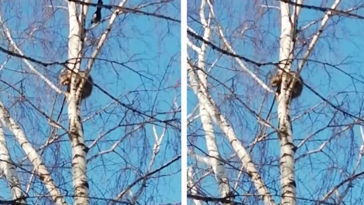 Сороки донимают: енот застрял на берёзе в Бердске — помочь ему не смог даже альпинист
