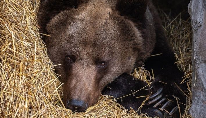 «Не ездите на дачи 3–4 дня!»: в окрестностях дач на Рябинино бегает разъяренная медведица