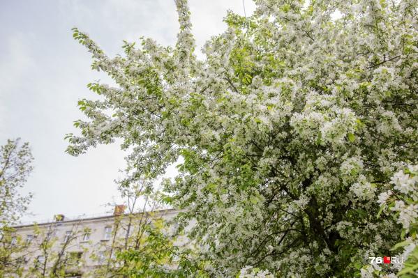 В Ярославле сейчас шикарные белые деревья