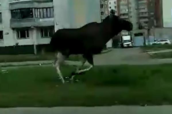 Лоси пробежали по проспекту Фрунзе среди бела дня