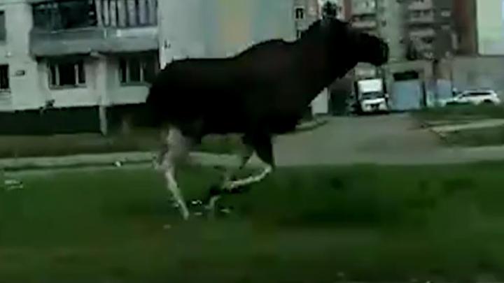 «Кто-то выгуливает»: по оживленному проспекту в Ярославле проскакали крупные лоси. Видео