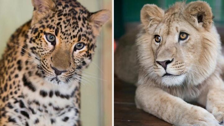 Львёнка Симбу и леопарда Еву из Челябинска в Танзанию вывезут ночным спецбортом