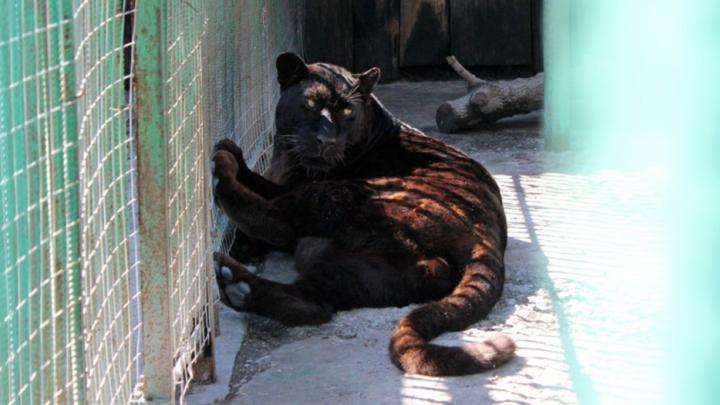 Большереченский зоопарк купил чёрного леопарда за 300 тысяч рублей