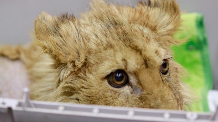 Львёнок Симба, спасенный челябинским ветеринаром от фотоживодёров, начал самостоятельно ходить