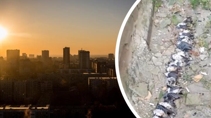 Здание-убийца: орнитолог объяснил, почему в Железнодорожном районе Новосибирска массово гибнут птицы