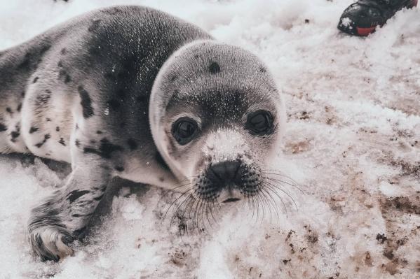 Жители Мезени пять дней подряд видели этого тюленя