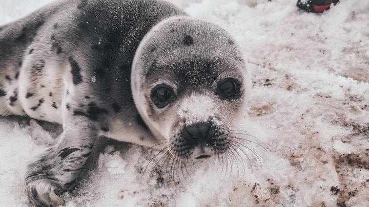 «Пока выглядит, как червячок»: как архангелогородцы спасали в Мезени гренландского тюленя