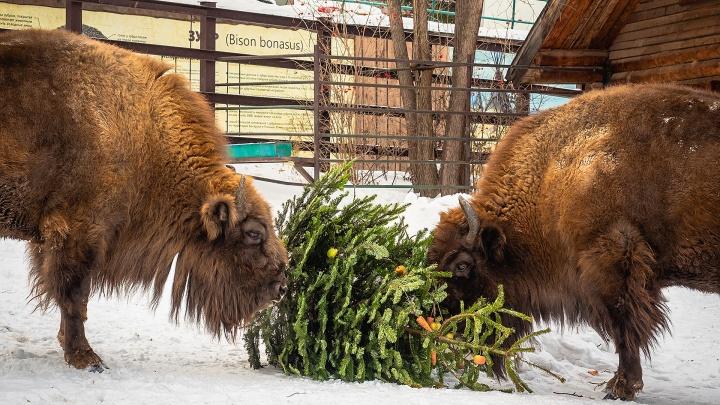 Для зубров в «Роевом ручье» нарядили специальную новогоднюю елку