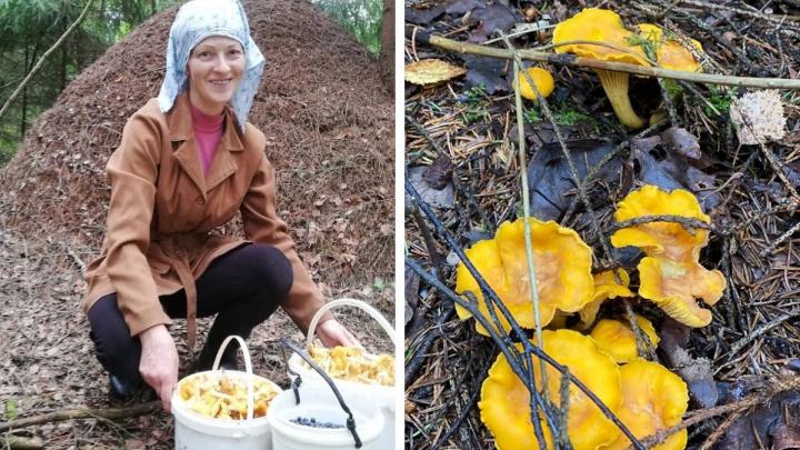 Лисичковый бум: ярославцы вёдрами тащат из леса грибы. Где собирают