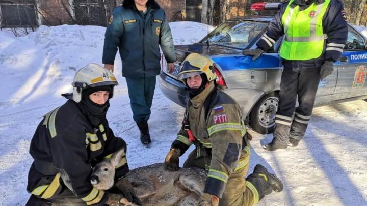 Испуганная и раненая косуля забежала на автобазу в Лесосибирске