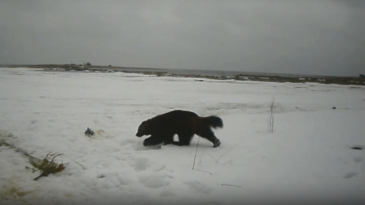 «Скачет, как лошадь»: в Онежском Поморье засняли на видео росомаху