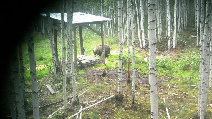 Около поселка в 20 километрах от Екатеринбурга в объектив фотоловушки попал медведь и напугал грибников