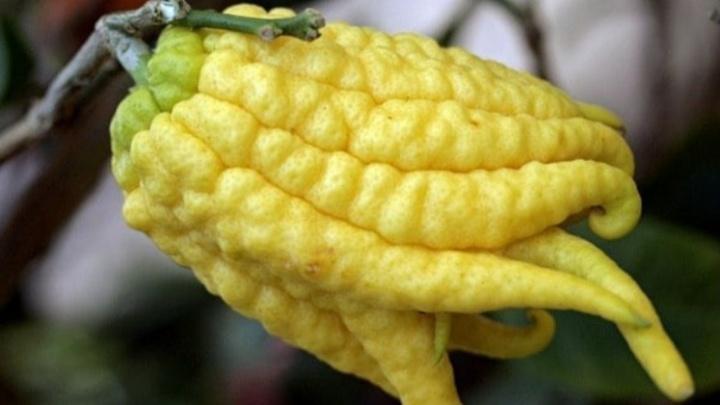 «Нечто между лимоном и кальмаром». В Ботаническом саду созрел король цитрусовых с расчлененными плодами