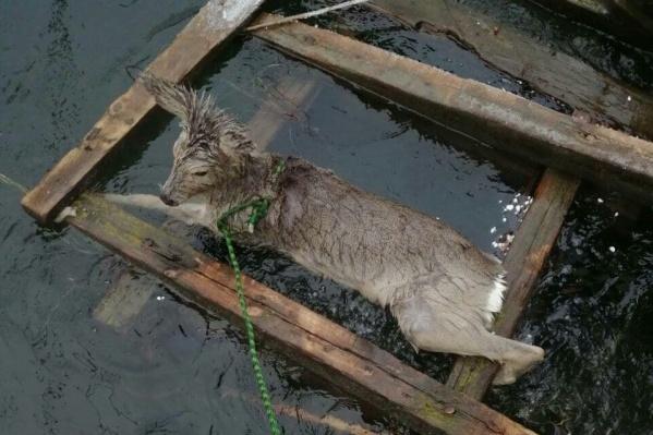 Иногда косуль загоняют собаки — не зная, куда укрыться, они бросаются в воду