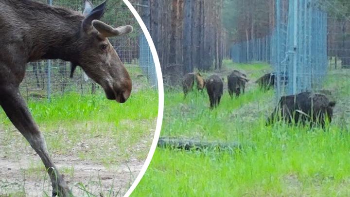 Видео дня. Смотрим Animal Planet по-нижегородски прямиком из Керженского заповедника