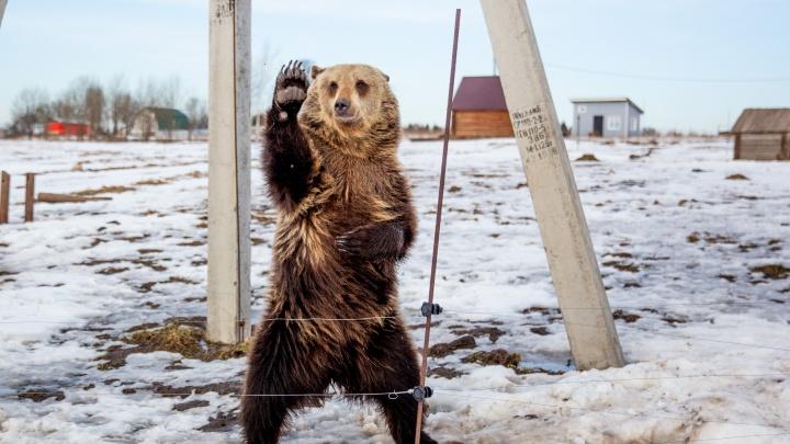 Даёт «пять» и катает хозяев на коньках: как приручили медведя в российской деревне