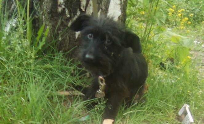 «Обессиленное, изможденное тельце»: в Ярославле щенка привязали к дереву и оставили умирать