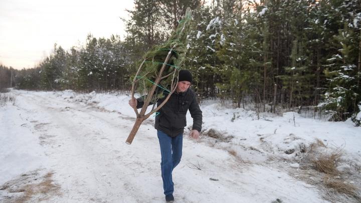 В Свердловской области с 16 декабря разрешили идти в лес за елками
